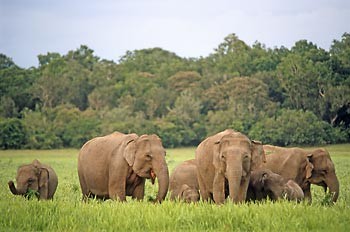 Sri Lankan elephants